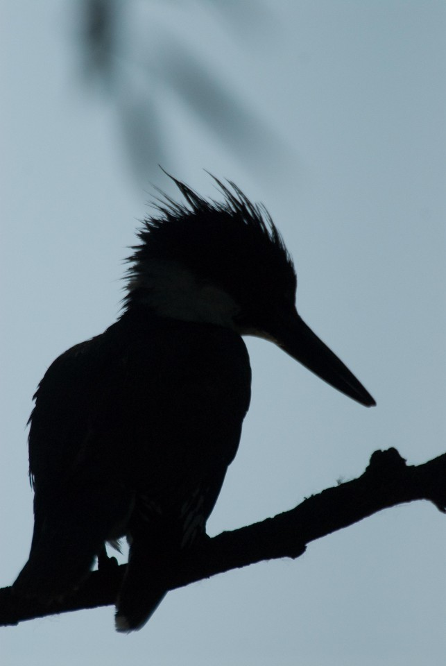 belted kingfisher silhouette